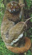 Cseasternwoollylemur Maxitrooper