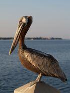 Brown-Pelican-adult