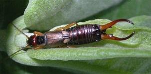 Earwig bug-1