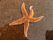 Starfish, Caswell Bay - geograph.org.uk - 409413