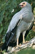 Csmadagascanharrier-hawk Maxitrooper