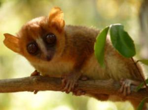Northern rufous mouse lemur