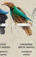 Standarwing Bird of Paradise