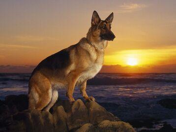 German-shepherd1