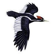 Ivory-Billed Woodpecker Flying