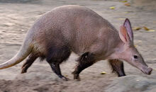 Aardvark fs