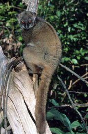 Sahamalaza sportive lemur