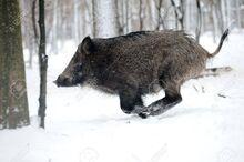 6500241-running-wild-boar