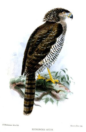 Madagascan Serpent Eagle