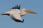 049 Great White Pelican TIFF