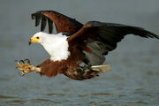 Fish eagle addo