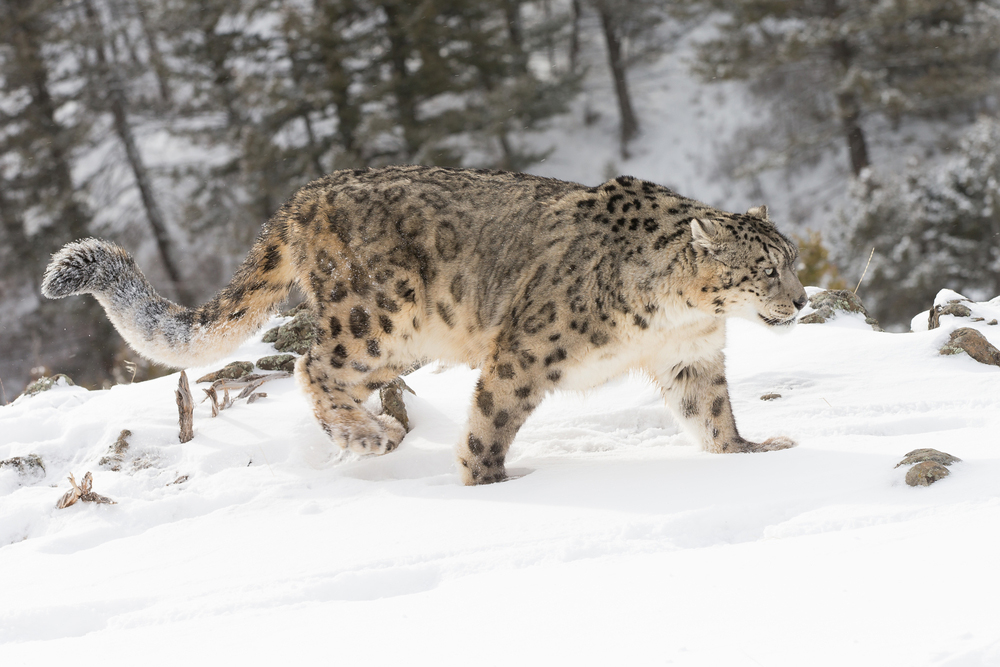 Ranking Of Direct Threats To Snow Leopards Across Range