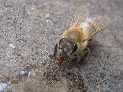 Drinking Worker Bee