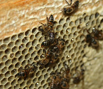 Cape Honeybee gorging
