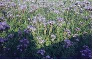 Facelia-planta melifera