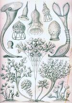 Haeckel Ciliata