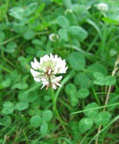 Trifolium-repens