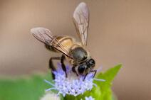 Apis cerana, Asiatic honey bee - Khao Yai National Park
