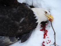 Dead-eagle02