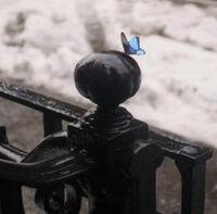 Believe-Wiki Blue-Butterfly 05