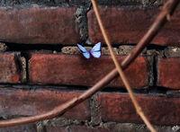 Believe-Wiki Blue-Butterfly 06