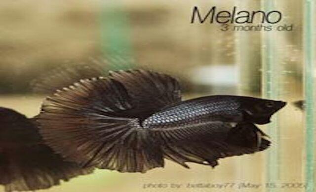File:Melano2May15 2005 large.jpg