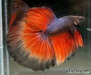 Black orange betta-sd
