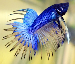 541px-Betta fish