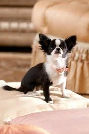 File:Ali from beverly Hills Chihuahua 2.jpg