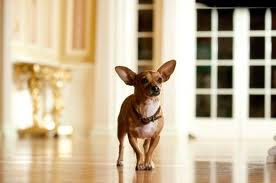 File:Papi from Beverly Hills Chihuahua.jpg