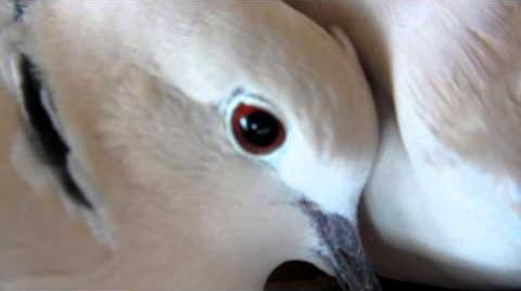 Doves cooing-3