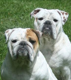 Boarhounds