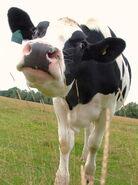 Cow - I'm NOT MAD!!! - Dedham, Essex, England - Monday September 3rd 2007-4602