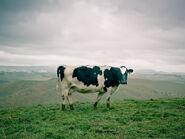 Krowa2-5448