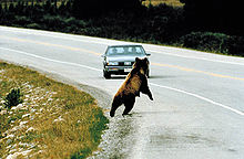 File:File-Bear roadkill2.jpeg