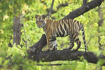 Fourteen-month-tiger-cub-called-Lakshmi-in-tree-Bandhavgarh-India