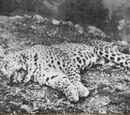 Leopard of Panar