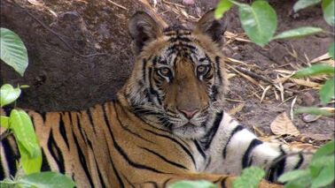 Big-Cats-The-Last-Man-eater-Killer-Tigers-of-India