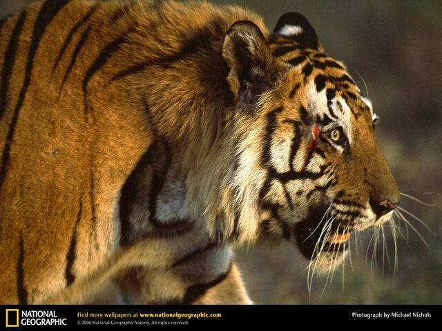 File:Bengal-tiger-charger-wallpaper.jpg