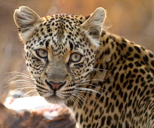 File:Leopard082710sa37.jpg