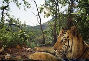 Bengal-tiger sita