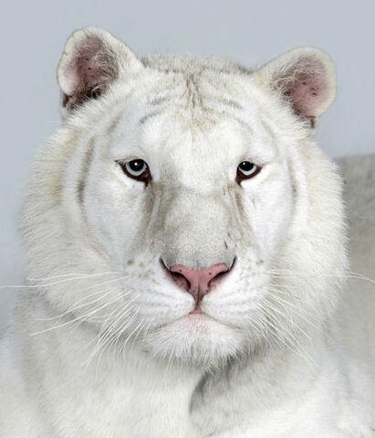 File:18-Sundari-a-two-year-old-female-snow-white-Bengal-tiger.jpg