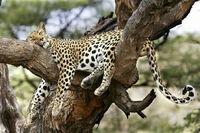 Cute-leopard-sleeping-in-tree