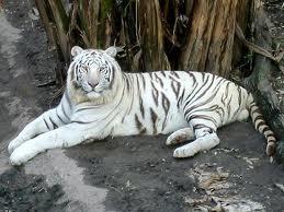 File:Siberian Tiger.jpg