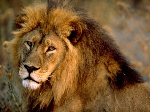File:493px-African-lion-male 436 600x450.jpg