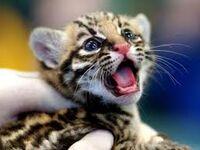 BabyLeopard