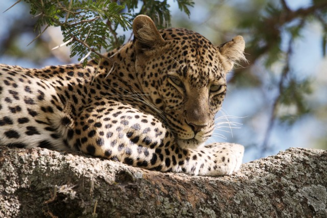 File:Leoparddd.jpg