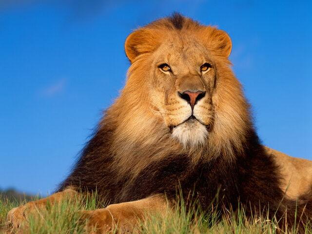 File:Lion-King-456803.jpeg