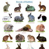 List Of Rabbit Breeds Bini The Bunny Wiki Fandom