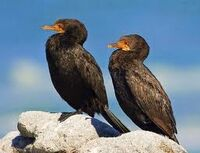 Phalacrocorax coronatus